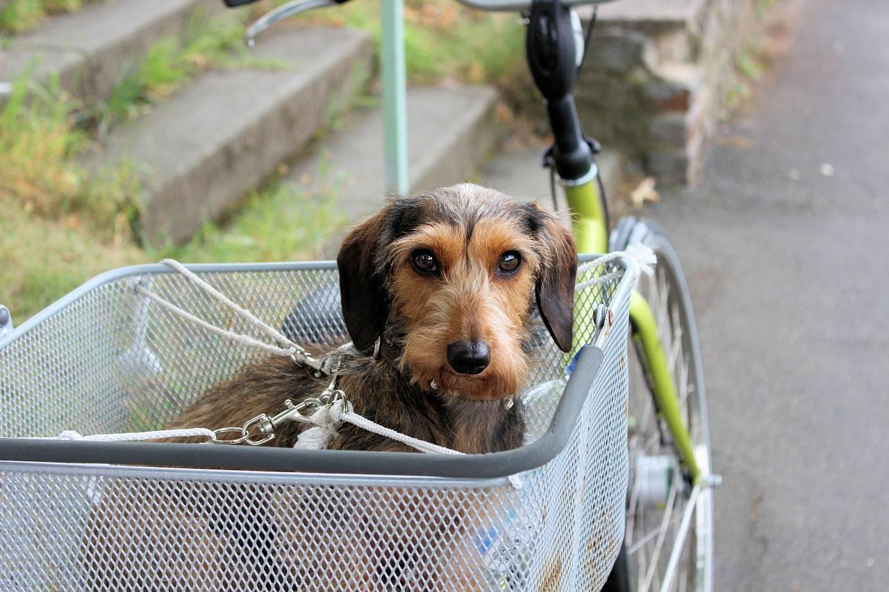 Hund im Fahrradhundekorb